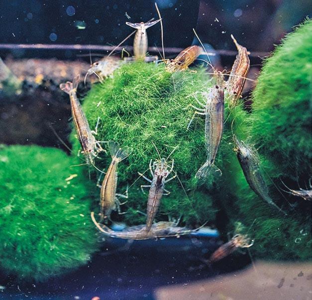 愈食愈靚﹕大和藻蝦是常見的工作蝦,專門清理水藻,Dave形容,圖中牠們正將藻球「食番靚」。(馮凱鍵攝)