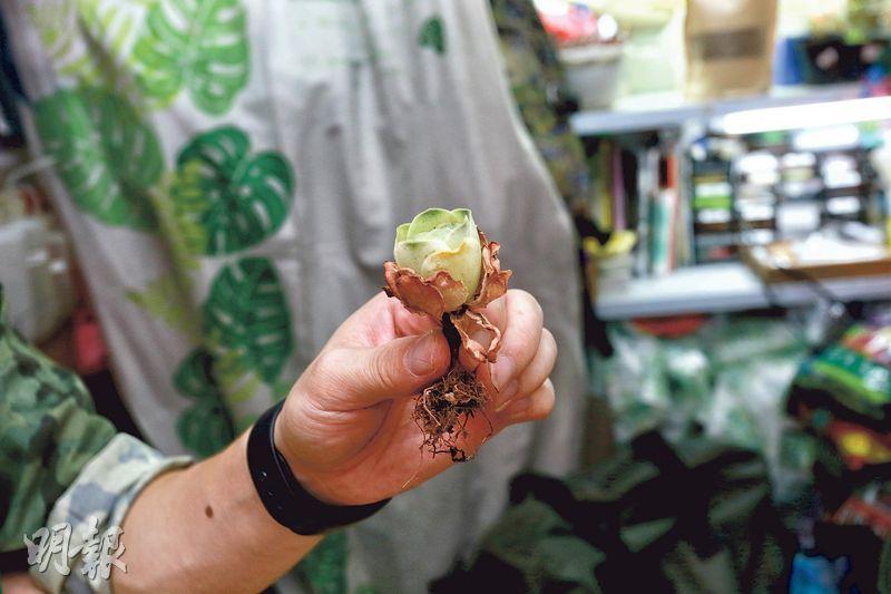 休眠 伺機再生——這款叫山地玫瑰的多肉植物在夏天呈枯乾的樣子,進入了類似休眠的狀態,其間可當作乾花擺設。(呂瑋宗攝)