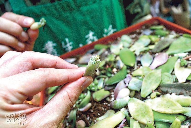 落葉 發芽生長——多肉植物生長力強,當葉子從莖幹脫落後會發芽長出幼根,之後可獨立生長。(呂瑋宗攝)