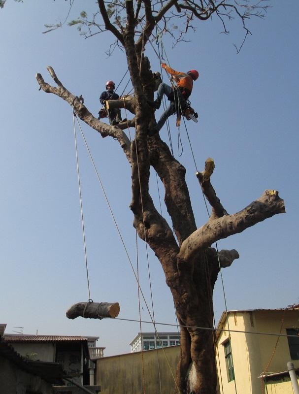 攀樹師運用各種工具,確保繩索穩固後,在樹上進行修枝任務。