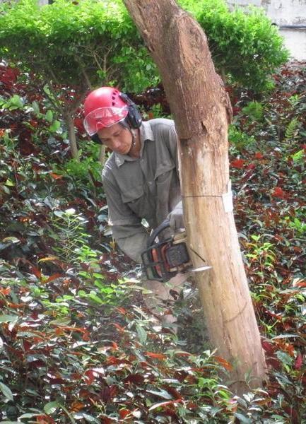 除了肩負樹上工作外,梁官成也要在樹下工作,包括圖中他以約 5 公斤的電油鋸移除已枯死的樹。(圖由香港樹木學會提供)