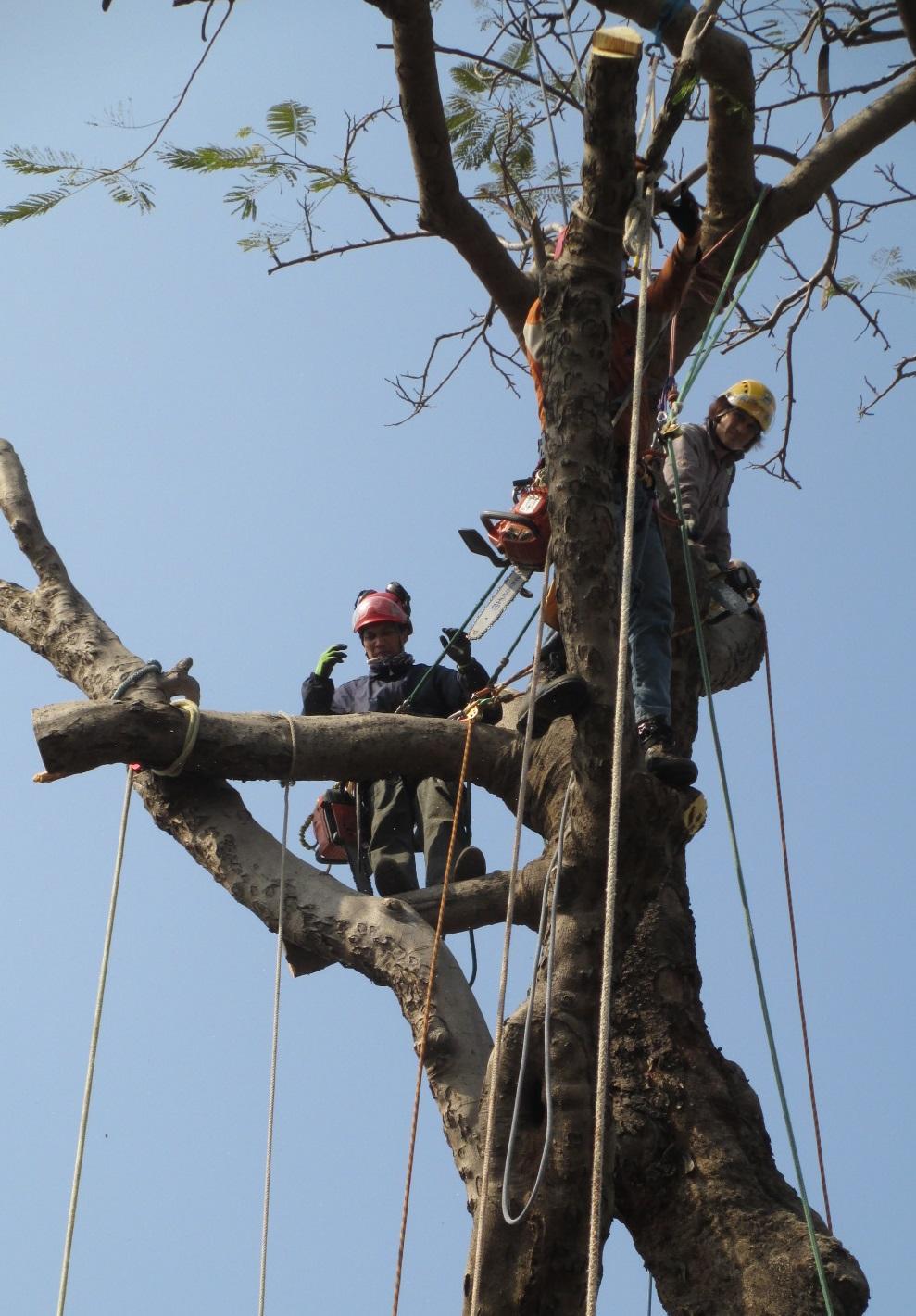 成為攀樹師的條件包括:不畏高、不怕離心力,以及擁有良好的體能。(圖由香港樹木學會提供)