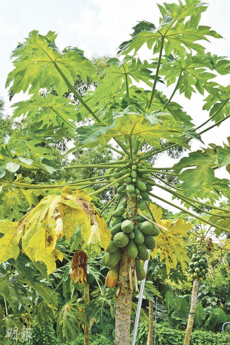 有機種植——曹sir 農場內的這棵台灣種木瓜樹是非基因改造,且以有機方法種植。(黃志東攝)