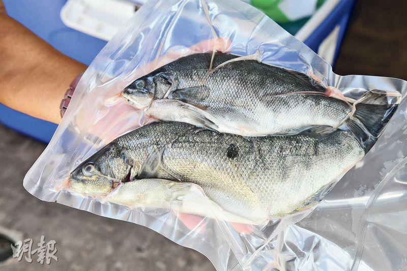 寶石魚——曹sir在農場內飼養寶石魚,養魚的成本較種菜高。不過每當有朋友吃過他的魚,而大讚:「條魚好鮮啊!」他就覺得是最佳回報。(黃志東攝)