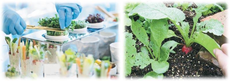 園藝治療師在選擇合適的治療植物時,會以生命力強、易種、具備五感刺激等作為基本考慮。如迷你菜 (左圖,資料圖片) 具備生長周期短、容易打理的特點,尤其適用於末期病人;櫻桃蘿蔔 (右圖) 能刺激視覺及味覺,而且易種、少蟲害,是常用的治療植物之一。
