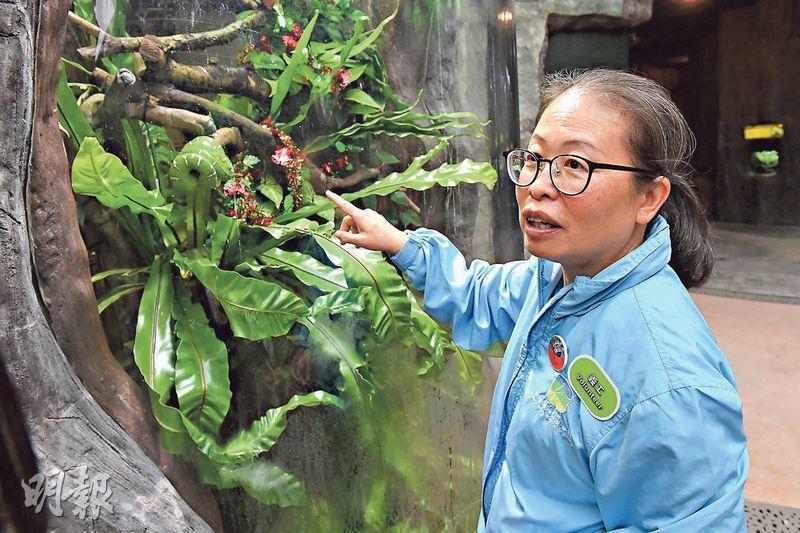 導賞員本色——拍攝時,趙紹惠不忘發揮導賞員本色,向記者介紹翡翠樹蚺,指牠們擅於晚間伏擊樹下經過的動物。(劉焌陶攝)