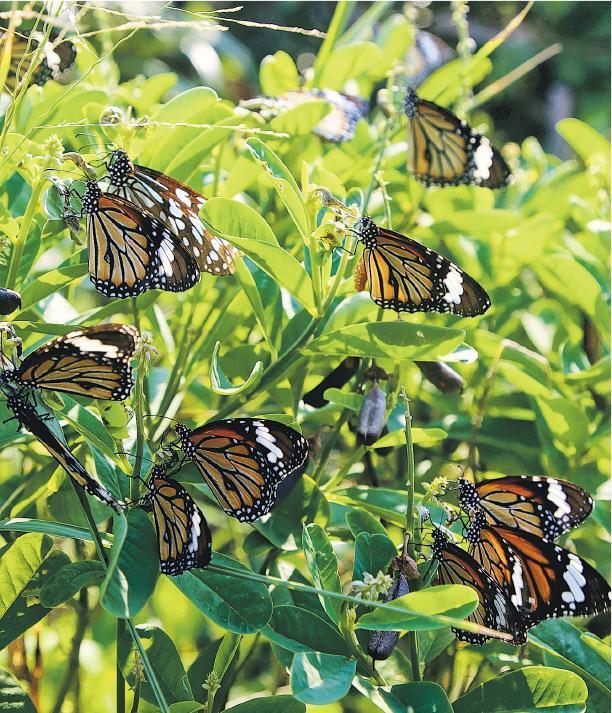 綠色力量調查發現,喺剛過去嘅冬季,本港多個地點錄得斑蝶越冬,當中大嶼山分流錄得200隻,係2009年有紀錄以嚟最多。(綠色力量提供)