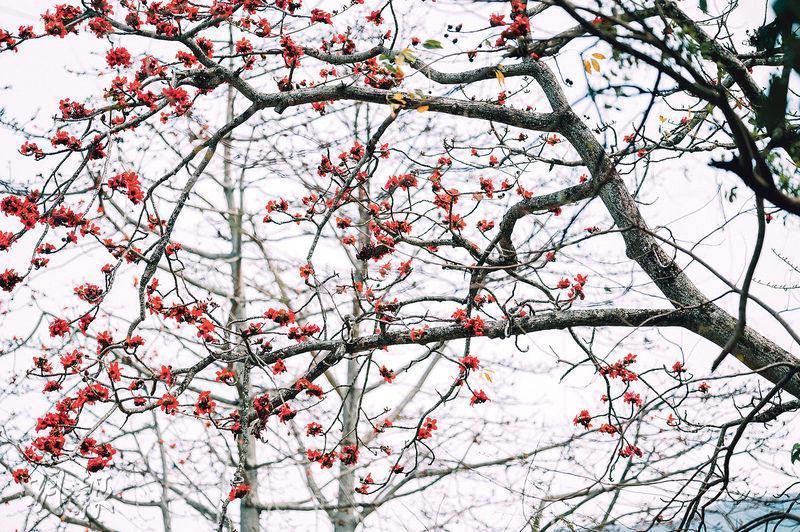 紅棉盛放——3月紅棉花盛開,當中以石崗軍營附近的紅棉樹夾道最為集中,成為打卡熱點。(蘇智鑫攝)