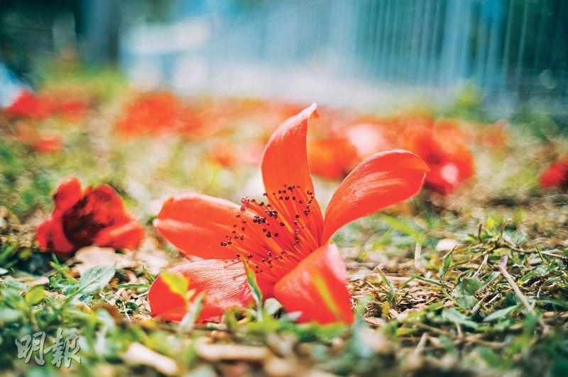 艷麗奪目——紅棉花呈火紅色,艷麗奪目,不少市民蹲在路邊拍攝留念。(蘇智鑫攝)