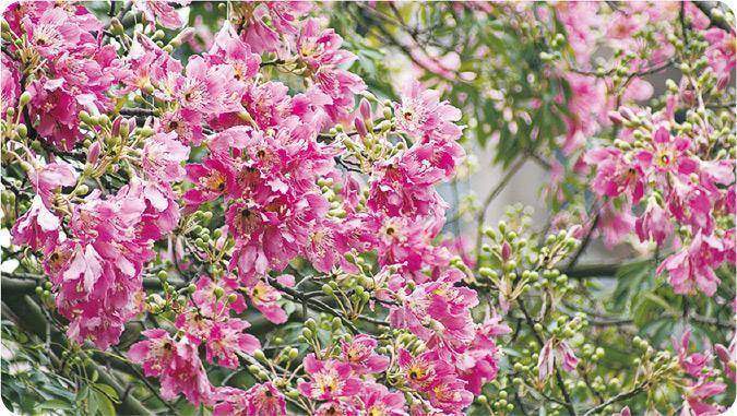 「美人樹」——「美人樹」(絲木棉)花呈粉紅色,遠看帶點櫻花的影子。(康樂及文化事務署提供)