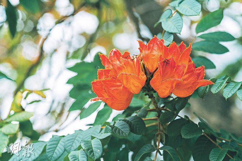 花期正盛:火焰木——火焰木花形像熊熊火焰。(蘇智鑫攝)