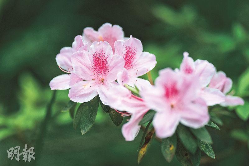 花期正盛:杜鵑花——杜鵑於3月、4月盛開。(蘇智鑫攝)