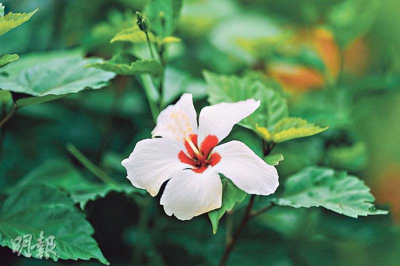 花期正盛:大紅花——又名木槿花,除了常見的紅色外,還有白色、紫紅、粉紅、黃色等不同顏色。(蘇智鑫攝)