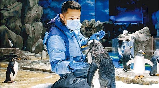 因為鳥類嘅呼吸道易受感染,海洋公園嘅企鵝護理員每日餵飼時,都會將維他命或營養補充品混入飼料中。(海洋公園提供)