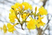 黃鐘木 (黃花風鈴木)(康樂及文化事務署網站圖片)