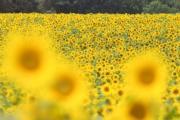 2017年7月,德國東部Fresdorf,太陽花 (法新社)