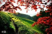 韓國紅葉:全羅南道 寶城茶園