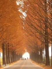 韓國紅葉:江原道 春川南怡島