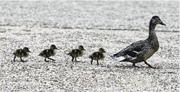 明藝.隨筆:一隻鳥和一隊鴨子