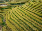 貴州省榕江縣岩寨梯田水稻進入成熟期。(中新社)