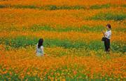江西省上饒市鉛山縣永平鎮打石塢秀美新村,小皺菊已盛開。(中新社)
