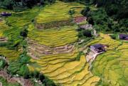 廣西桂林市全州縣鄉村的稻田被秋色染黃。(新華社)