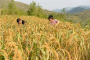 河北省灤縣楊柳莊鎮中趙村農民在收穫穀子。(新華社)