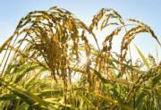 吉林省延邊朝鮮族自治州4.6萬公頃水稻已進入成熟期。(新華社)