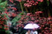 遊客在江蘇揚州何園內觀賞楓葉。(新華社)