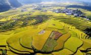 貴州省龍裏縣的稻田泛著金黃。(新華社)
