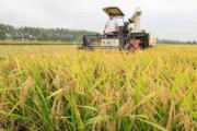 江蘇「蝦稻米」收穫期(新華社)