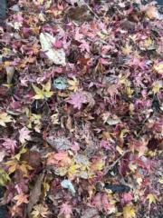 【日本紅葉】河口湖紅葉迴廊、久保田一竹美術館附近紅葉處處。