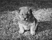 嘉道理的小狗Smokey。(圖片及資料由香港社會發展回顧項目提供)