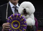 在Westminster Kennel Club Dog Show獲得全場總冠軍的比熊犬Flynn。(法新社)
