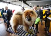 Westminster Kennel Club Dog Show(法新社)