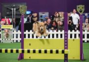 Westminster Kennel Club Dog Show(新華社)