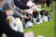 Westminster Kennel Club Dog Show雲集了約2800隻狗狗參賽。(新華社)