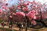 3月7日,雲南昆明圓通山公園的櫻花綻放,吸引不少遊客前來賞花。(新華社)