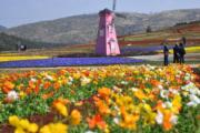 3月6日,昆明市海口鎮一高山花園內多種鮮花盛開。(中新社)