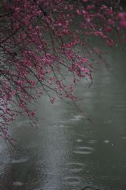 3月6日,杭州西溪濕地國家公園裏的梅花盛開。(新華社)