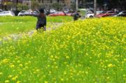 3月7日,福州市鼓樓區五四路溫泉大飯店原址種植的油菜花盛開。(中新社)