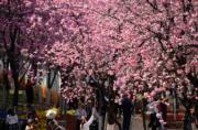 3月6日,遊客在昆明圓通山公園裏觀賞盛開的櫻花。(新華社)