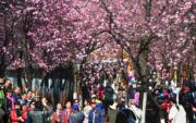 3月5日,雲南昆明圓通山的櫻花、海棠兩花齊放,吸引遊客前來觀賞。(中新社)