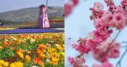 春天來臨,內地各地方的鮮花相繼盛放。(新華社、中新社)