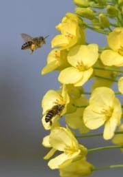 3月9日,江西農業大學油菜花試驗田的油菜花競相開放,吸引了蜜蜂前來採集花粉。(新華社)