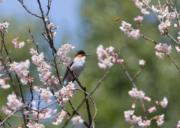 3月10日,在江西九江天花井森林公園,一隻小鳥站立在花枝上。(新華社)