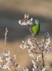 3月10日,在江西九江天花井森林公園,小鳥在啄食花蜜。(新華社)