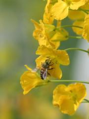 3月9日,在江西農業大學油菜花試驗田裏,蜜蜂在盛開的油菜花叢中採集蜂蜜。(新華社)