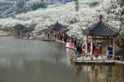 3月11日,重慶市北碚區澄江鎮上馬臺村的李花迎來盛花期,吸引眾多遊客前來踏青賞花。(新華社)
