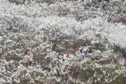 3月11日,重慶市北碚區澄江鎮上馬臺村的李花迎來盛花期。(新華社)